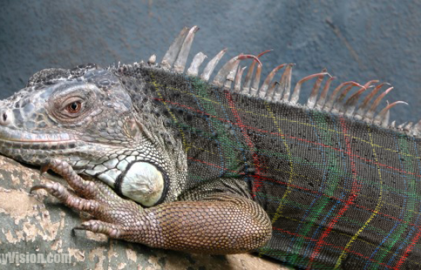 Domestic iguanas evolving plaid camouflage