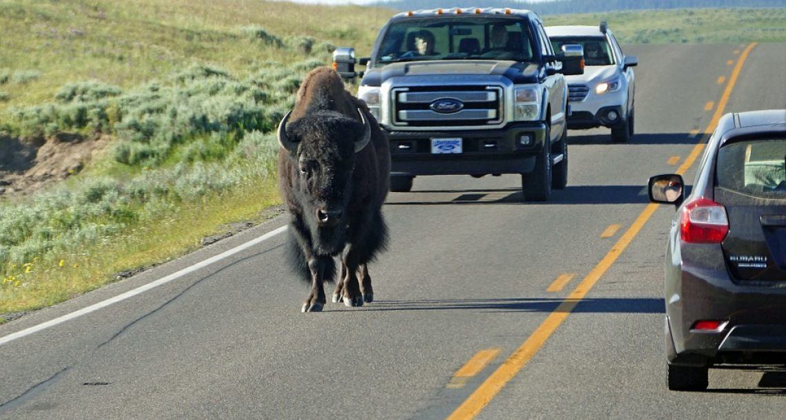 Bison At Yellowstone Park Know What Traffic Is, They Are Just Messing With You