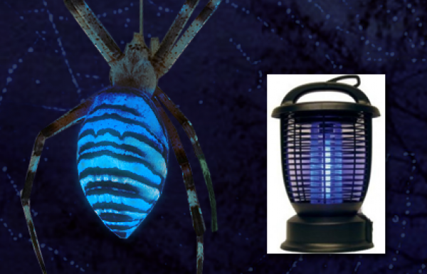 """Bug Zapper"" spider attracts prey with bio-luminescence"