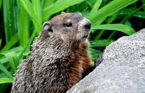 Groundhog sees shadow in July, uncertain of next steps